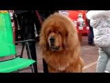 СУПЕР-ОГРОМНЫЙ ТИБЕТСКИЙ МАСТИФ на выставке собак. Odessa.