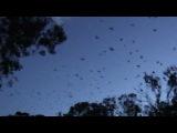 Flying Foxes at Yarra Bend Park, Melbourne 03