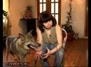 Домашний волк Wolf at home
