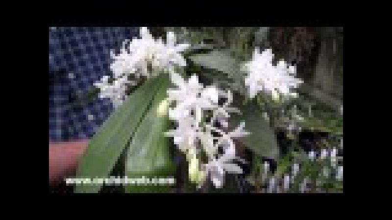 OrchidWeb - Phalaenopsis tetraspis