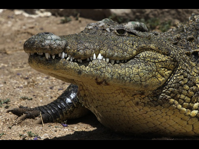 Суперхищники Крокодил National Geographic