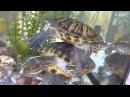 Красноухая черепаха c откусанным носом