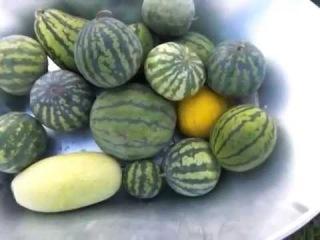 Огород без хлопот - Урожай арбузов на даче 06.09
