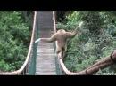 Gibbon walking On A Bridge LOL watch