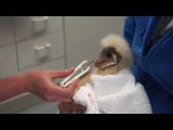 Feeding Very Vocal Baby Barn Owl!
