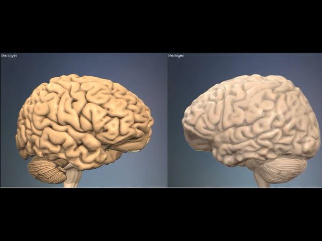 3D Анатомия человека - мозговые оболочки. 3D Anatomy human - meninges.