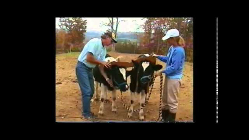Training Oxen by Voice Commands