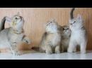 Британские и шотландские котята Очень красивые котята