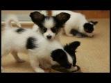 Papillon puppies / Щенки папильона