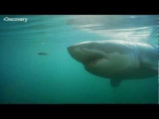 Feeding Ground for Great White Shark