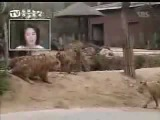 Lion Vs Tiger-Lion Destroys Tiger-The Truth Behind Their Fights