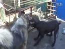 Собачьи бои кавказкая овчарка vs кане корсо