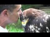 Ручной  беркут (золотой орел) |  Golden Eagle