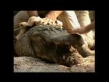 Сила Укуса Аллигатора. National Geographic: «Гигантский крокодил» Саркозух. (Документальный, 2001)