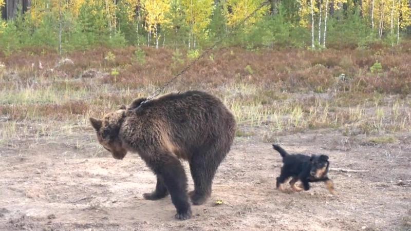 ягд Тайсон первый раз притравка на медведя, 6 месецев.