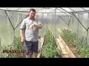 Первый уход за томатами после высадки