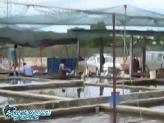 Разведение лялиусов в Малайзии. Рыбоводная ферма.