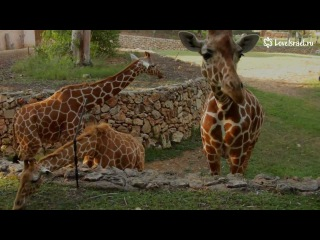 Зоопарк Сафари, там зебры гуляют с НАГЛЫМИ СТРАУСАМИ! ))