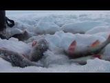 Зимняя рыбалка на Рыбинке. Большой окунь. Приятного просмотра.