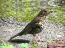 Голоса птиц Певчий дрозд Turdus philomelos