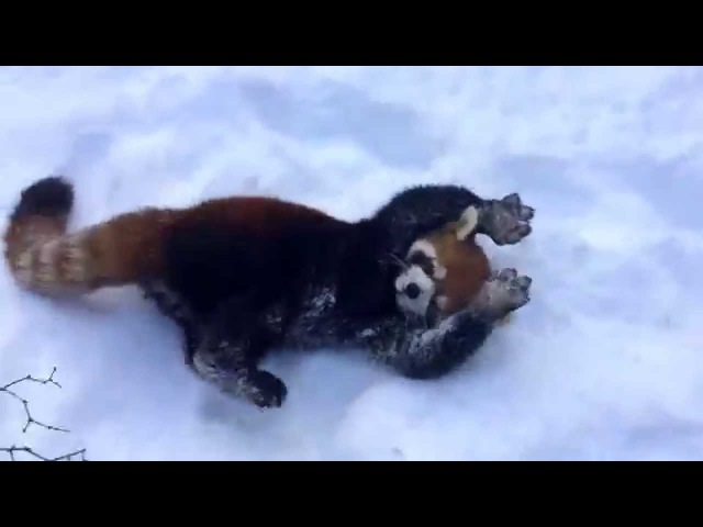 Red Pandas are Having Snow Much Fun - Cincinnati Zoo