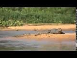 Ягуар напал на крокодила