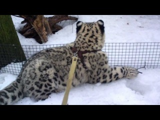 Прогулка со снежным барсом.mp4
