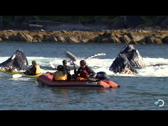 Горбатые киты чуть не перевернули каяки. Северная Америка