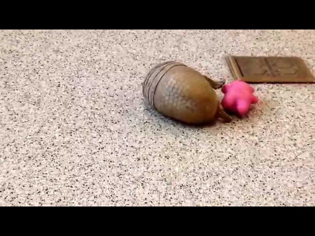 Rollie, a southern three-banded armadillo, playing