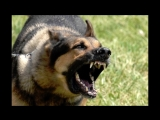 Top 10 Biggest Guard Dogs in the World ! Caucasia _ Kangal _ Rotweiler_ Pitbull