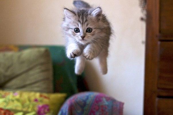 того очень пушистый котик прыгает вдовы