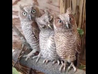 Whatcha looking at!? #owls #birds #animals #wildlife #trio