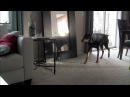 Doberman Attacks Pit Bull