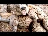 ТОП 10: Ужасные спаривания животных в сравнении с человеком