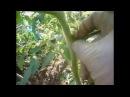 пасынкование томатов и формирование куста несколькими способами