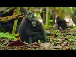 Celebes crested macaque / Хохлатый павиан / Macaca nigra