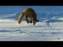 Рыжая лиса ныряет в снег- Северная Америка
