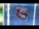 Fishchick Auctions Betta Australis IBA National Show Champion Doubletail Male newlisting