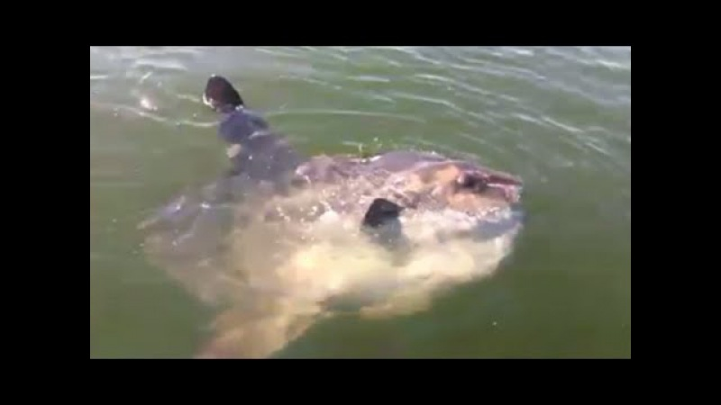 Hilarious Guy fishing from Boston FREAKS out when he sees an Ocean Sunfish (EXPLICIT LANGUAGE)