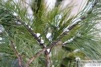 18 января 2013 - В Тольятти посадили сибирские кедры