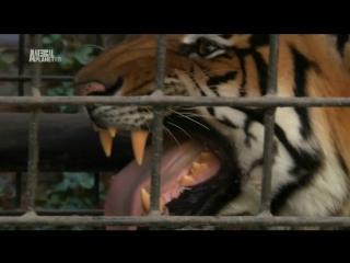 Animal planet. Большие и страшные. Тигры