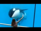 Кит убийца (касатка) в аквариуме играет с девушкой.