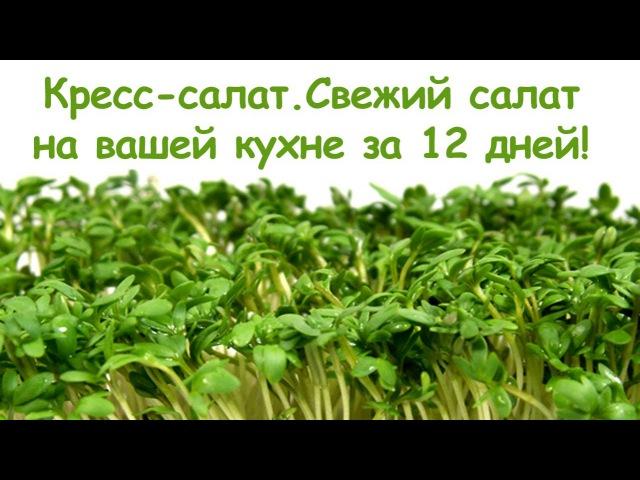Кресс-салат. Свежий салат на вашей кухне за 12 дней! Микрозелень.