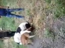 Алабай против Питбуля. бой собак alabai against pit bull. fighting dogs