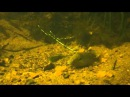 Нерест солнечного окуня Lepomis auritus Река Рэпидан Штат Вирджиния США