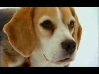 О породе собак - Бигль