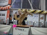 Экспертиза юниора Мейн-Кун на выставке кошек