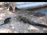 Кот и крокодил