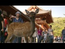 Nara Deer visit the temple - Japan: Earth's Enchanted Islands: Episode 1 Preview - BBC Two