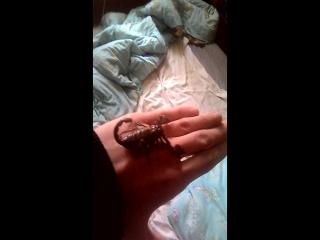 скорпион на мне